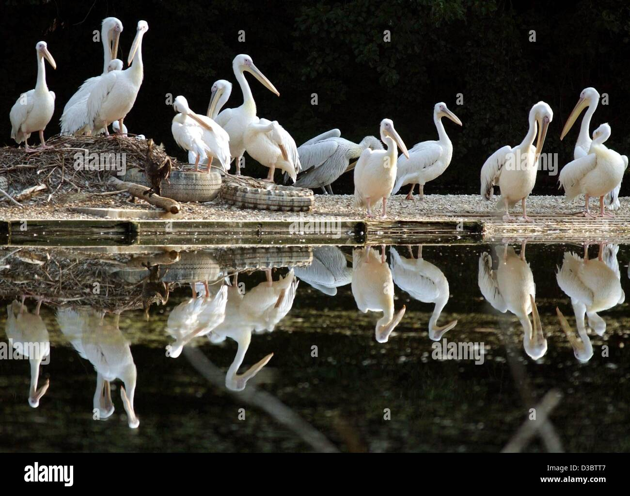 (dpa) - A flog of pelicans stand next to a pond in their enclosure and await their feeding early in the morning - Stock Image