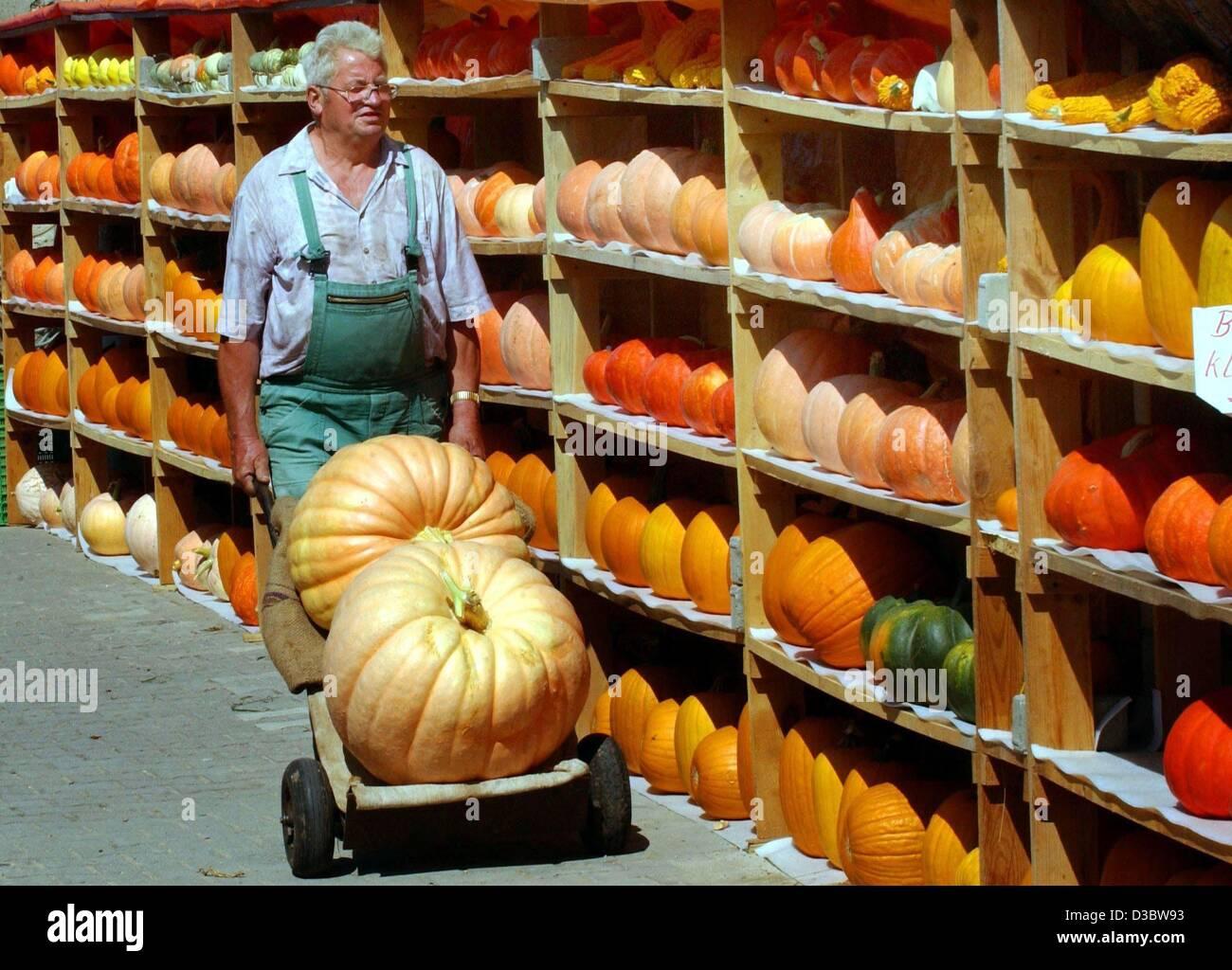 (dpa) - Farmer Eberhard Riecke pushes two huge pumpkins on a wheelbarrow past a shelf of smaller pumpkins in Philipstal, - Stock Image