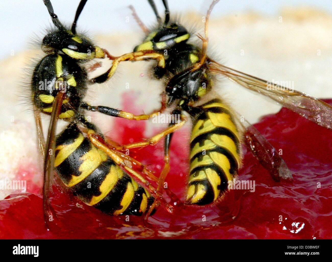 (dpa) - A particular nuisance at the end of the summer for many: Wasps fight for the best spot on a jam bread, in - Stock Image