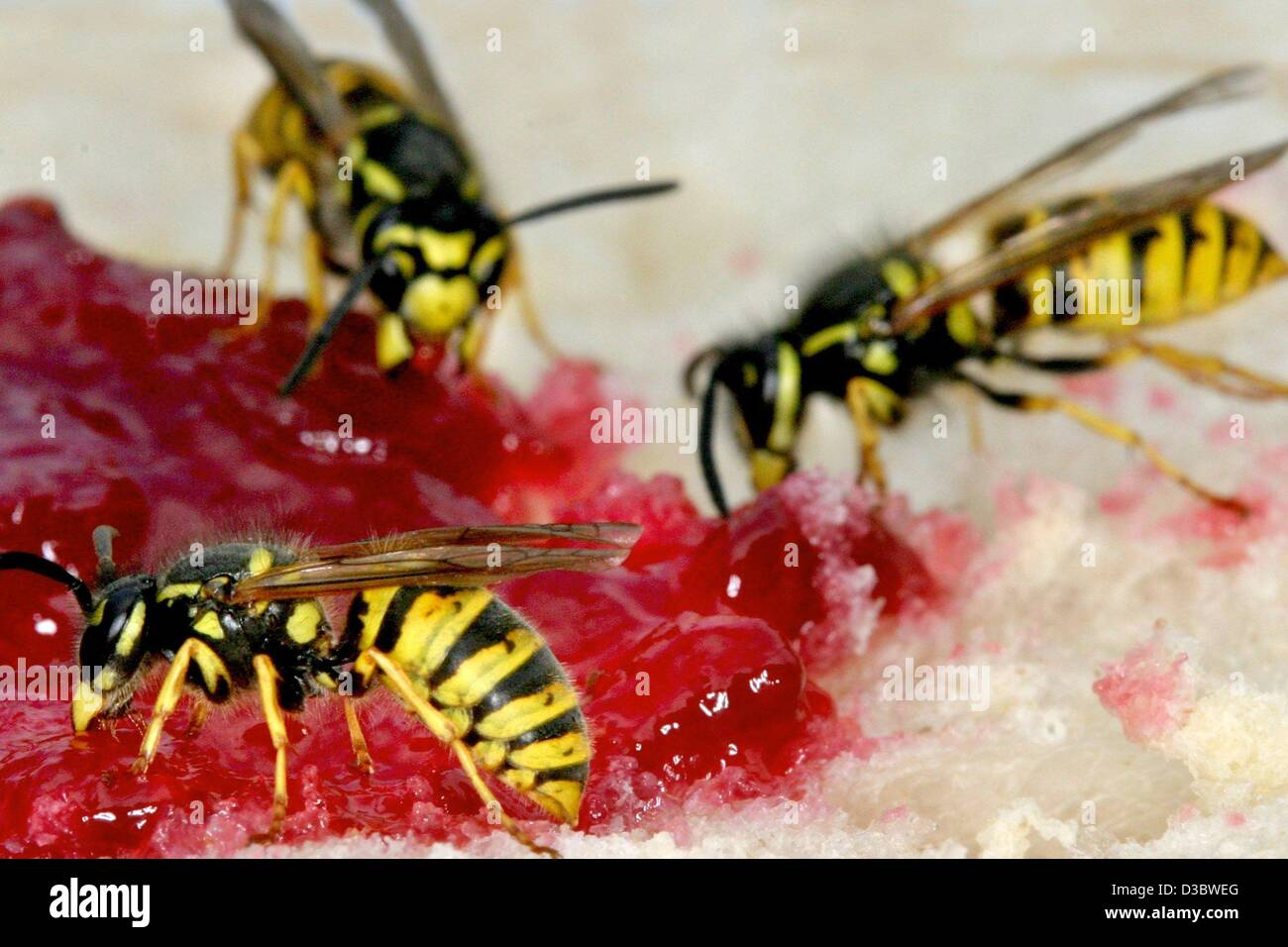 (dpa) - A particular nuisance at the end of the summer for many: Wasps indulge their passion for sugary sweets on - Stock Image