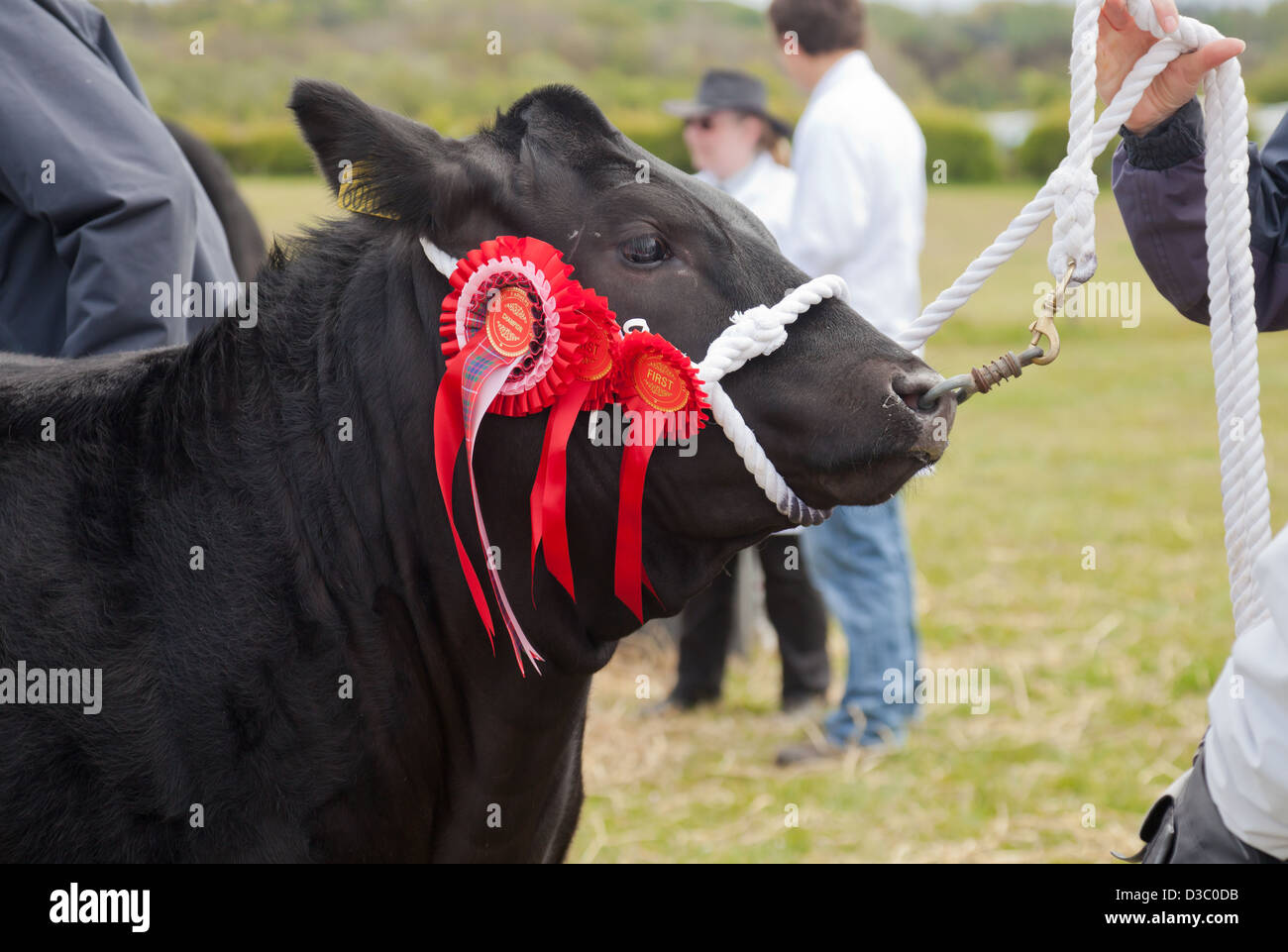 Champion Black Limousin cow with three rosettes being held by a harness at a Farmer's show in Ayrshire, Scotland. - Stock Image