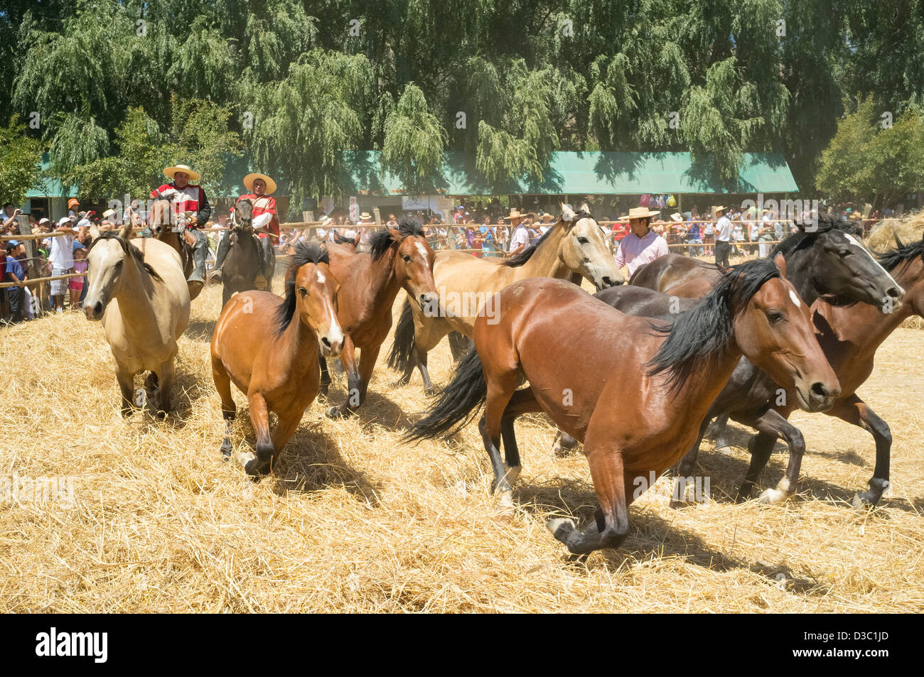 traditional festival of the Chilean countryside, threshing with horses - Stock Image
