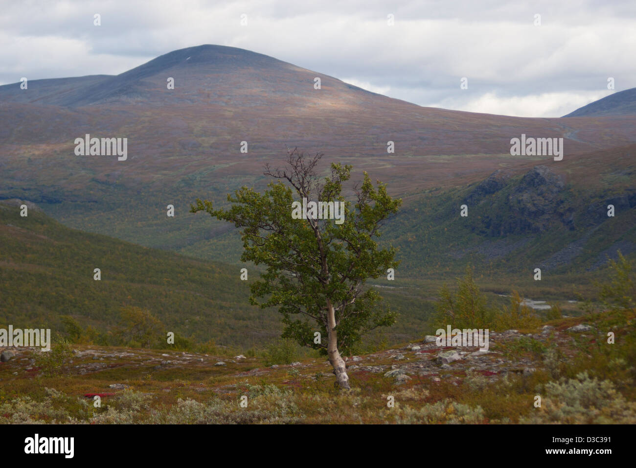 Lonely tree in Kebnekaise National Park - Stock Image