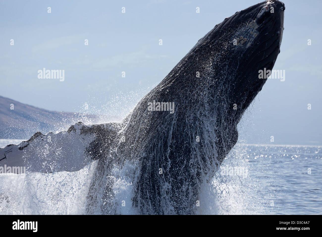 Breaching humpback whale, Megaptera novaeangliae, Hawaii. Stock Photo