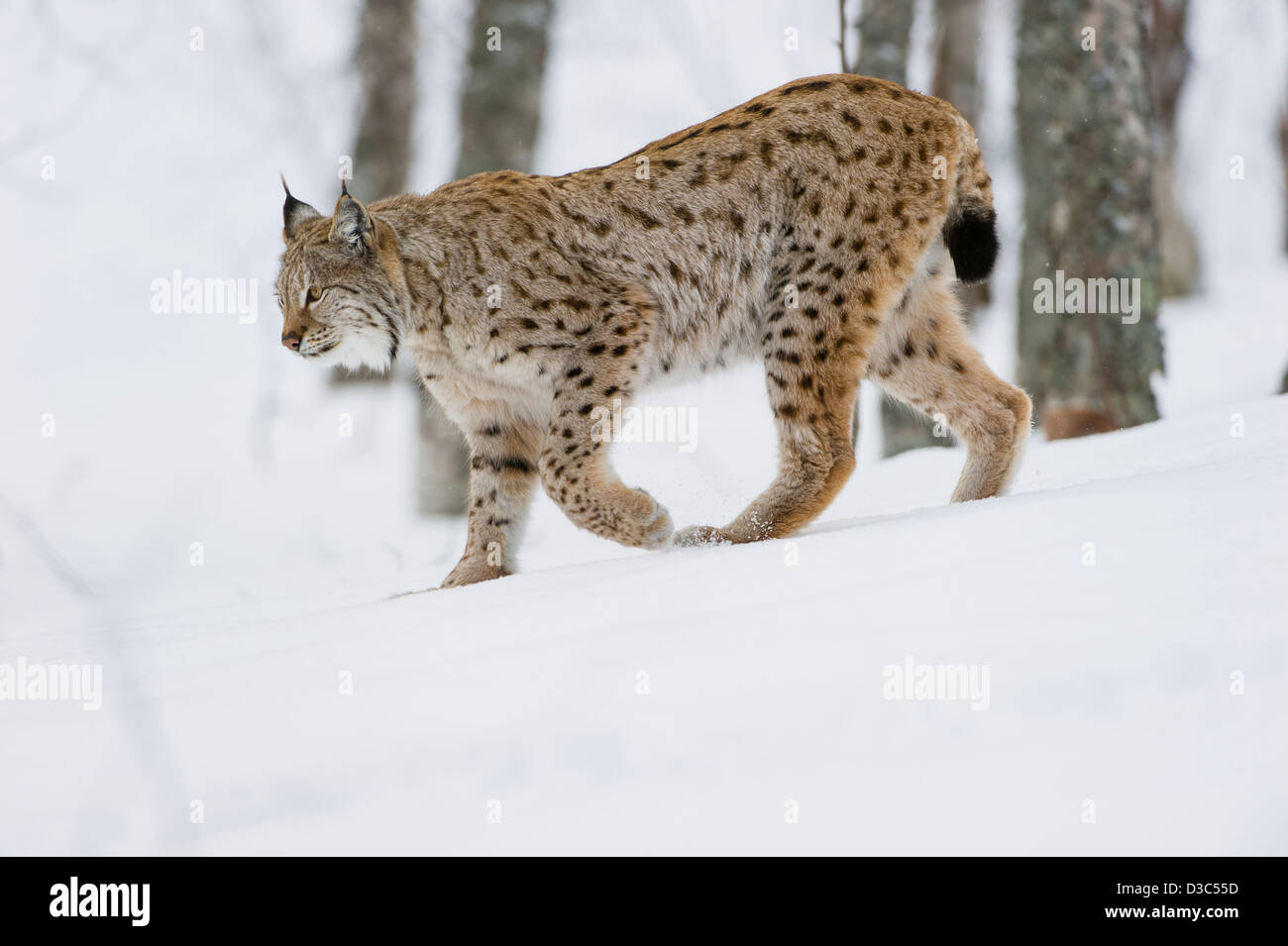Eurasian Lynx (Lynx lynx) in winter fur over snow and under snowfall, controlled conditions, Norway - Stock Image