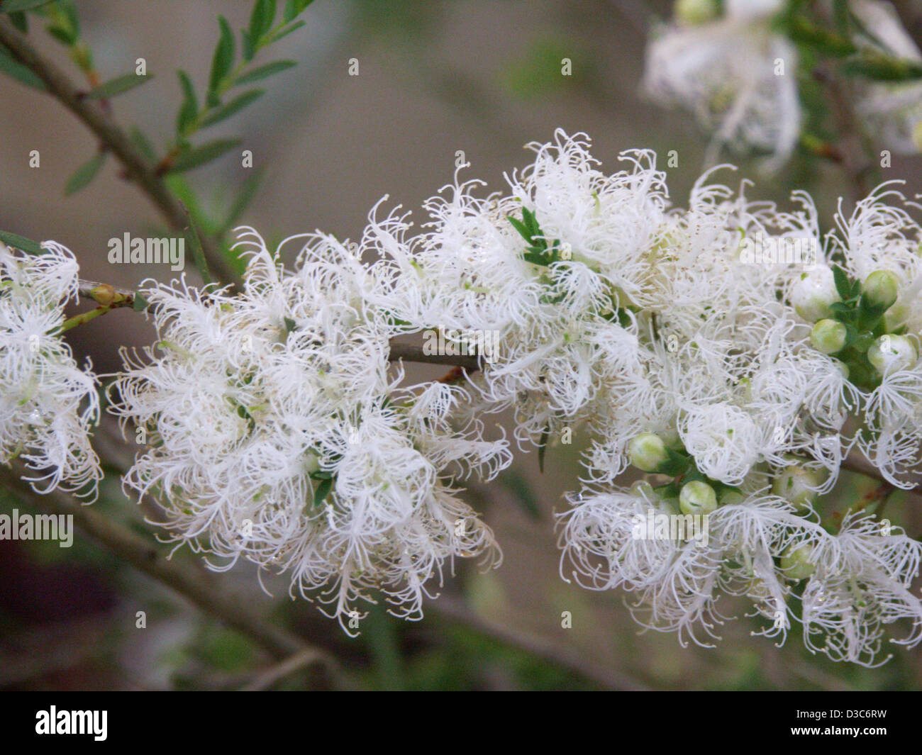 Clusters of delicate white flowers and foliage of melaleuca stock clusters of delicate white flowers and foliage of melaleuca thymifolia white lace an australian native plant mightylinksfo