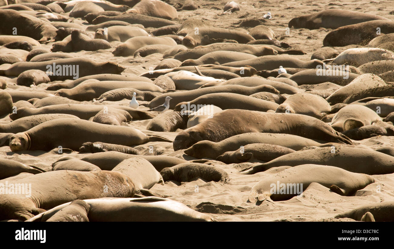 Elephant seals bask in warm sand at breeding grounds near San Simeon along Highway One west coast of California - Stock Image