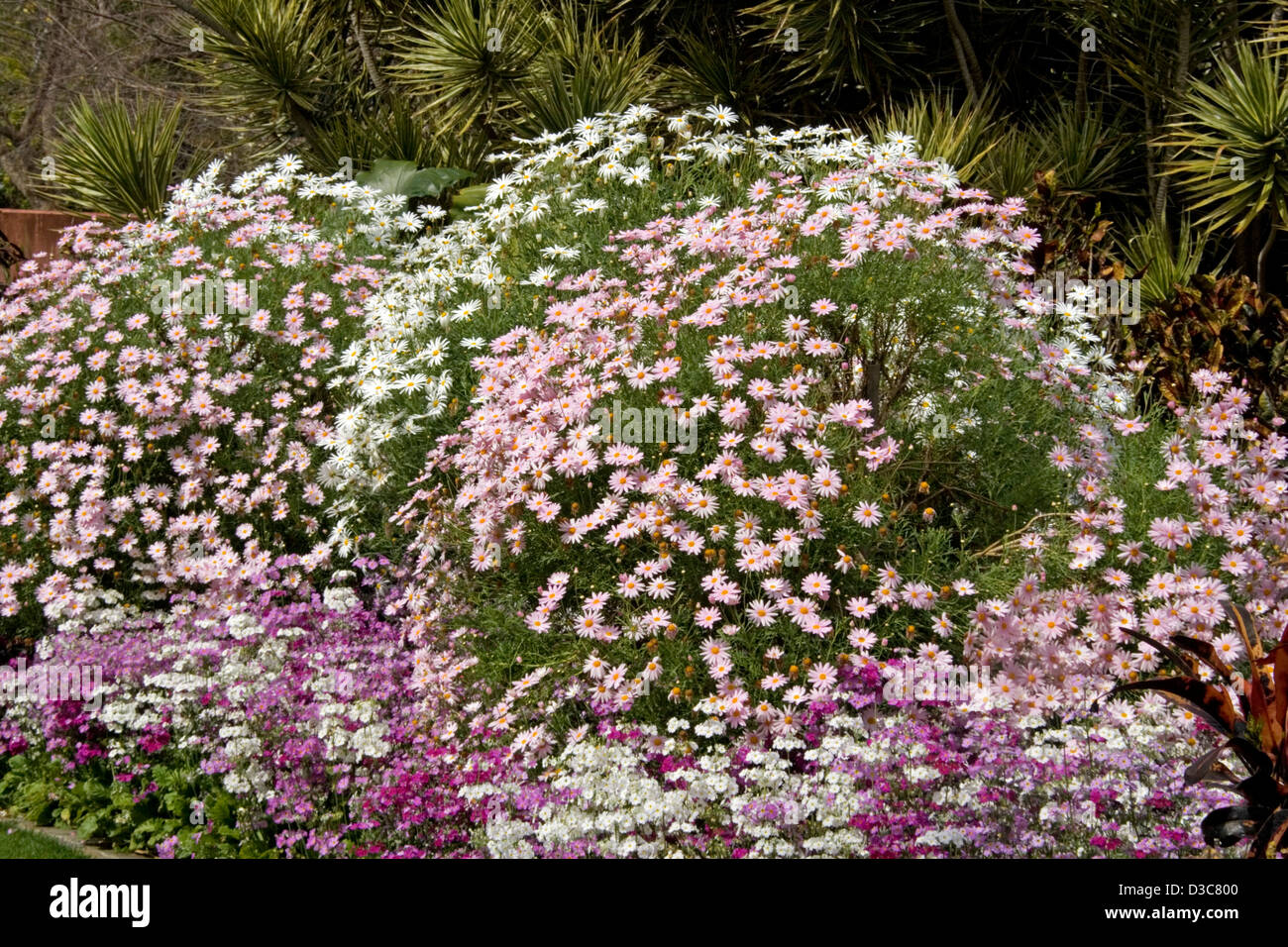 Mounds of pink and white flowers and foliage of osteospermum daisies mounds of pink and white flowers and foliage of osteospermum daisies in public parklands brisbane australia izmirmasajfo