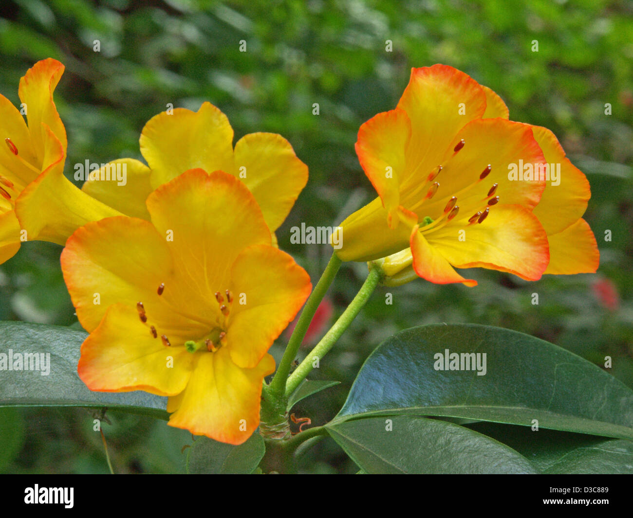Bright Yellow Flowers With Petals Edged With Orange Together With