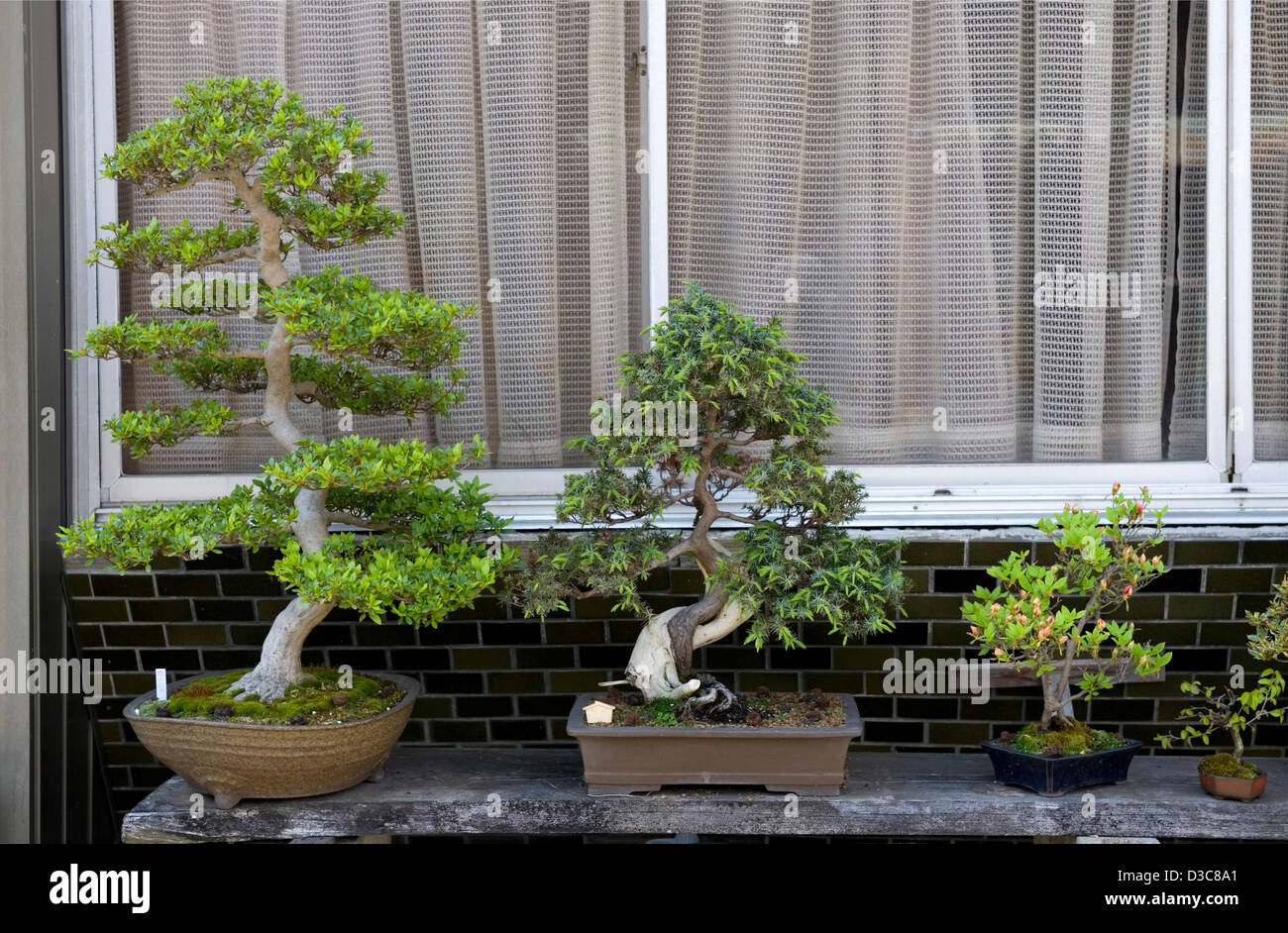 A Collection Of Japanese Bonsai Trees In Various Sizes Adorns A Stock Photo Alamy
