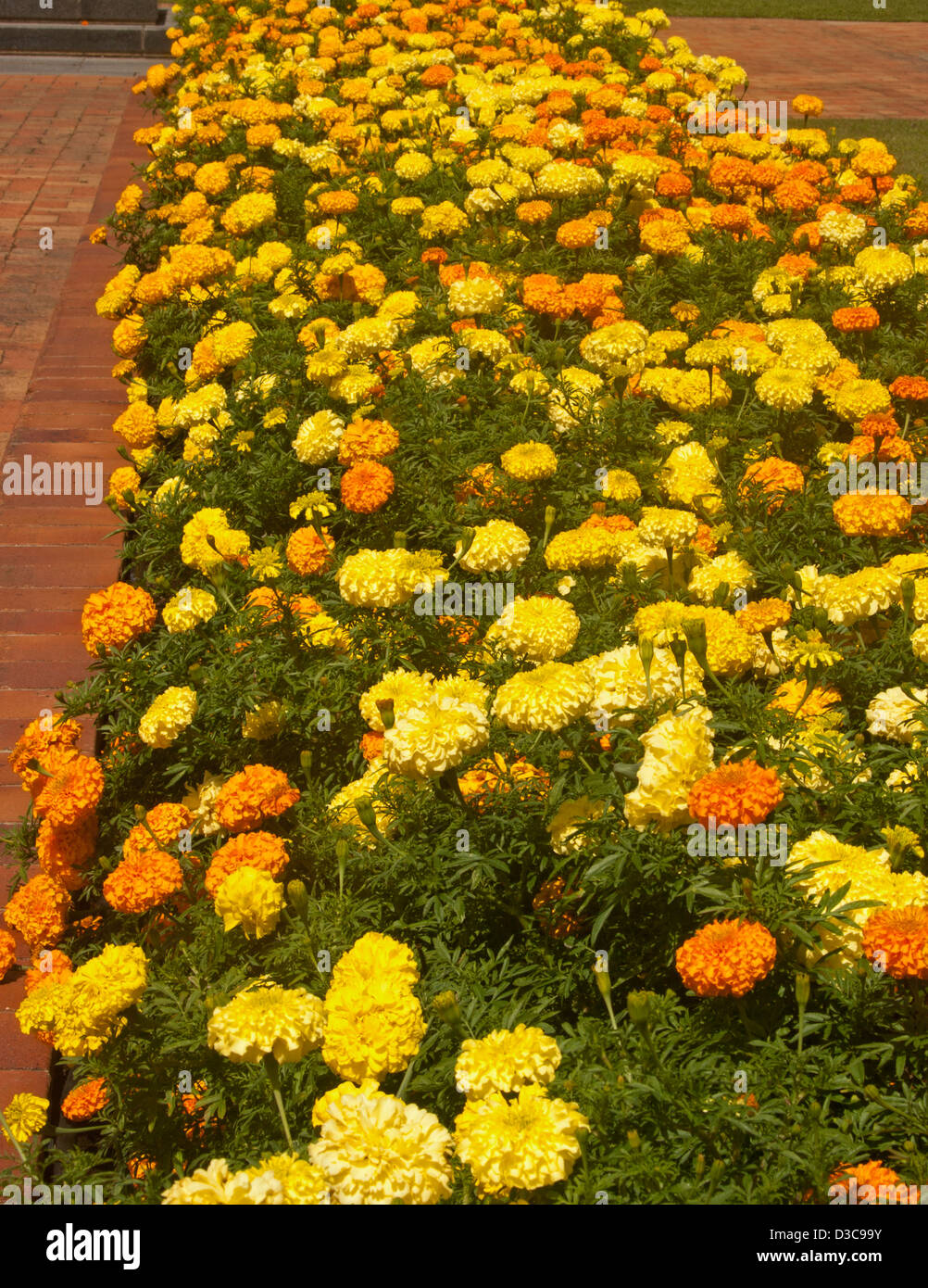 Marigolds In Garden Bed Garden Ftempo