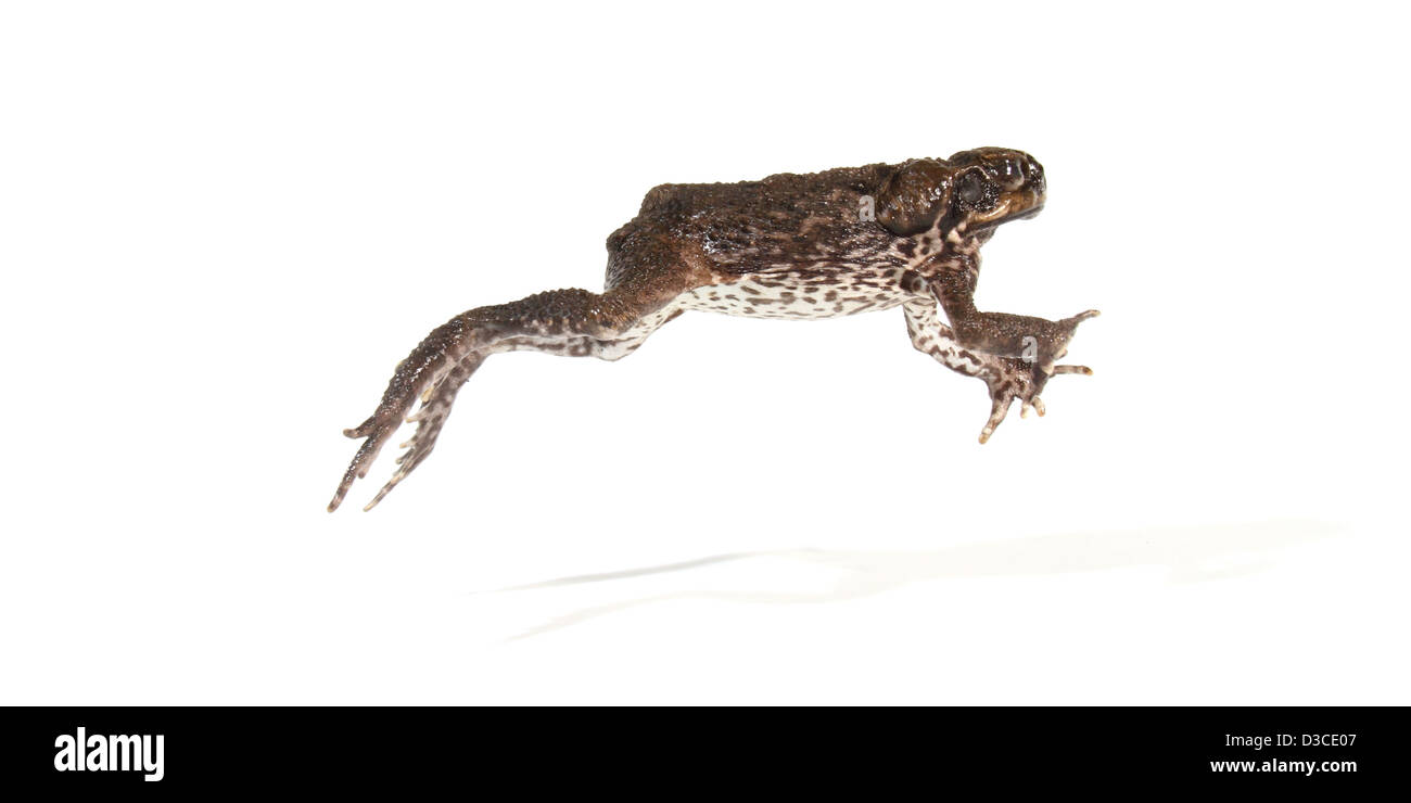 cane toad photographed in a studio suitable for cut-out - Stock Image