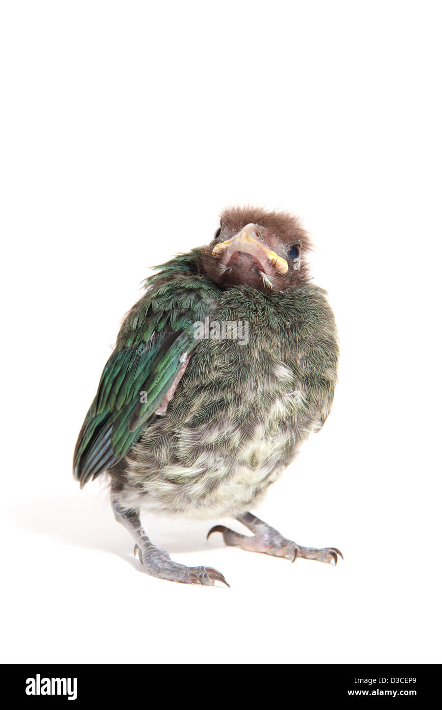 Green catbird, ailuroedus crassirostris, chick photographed in a studio suitable for cut-out - Stock Image