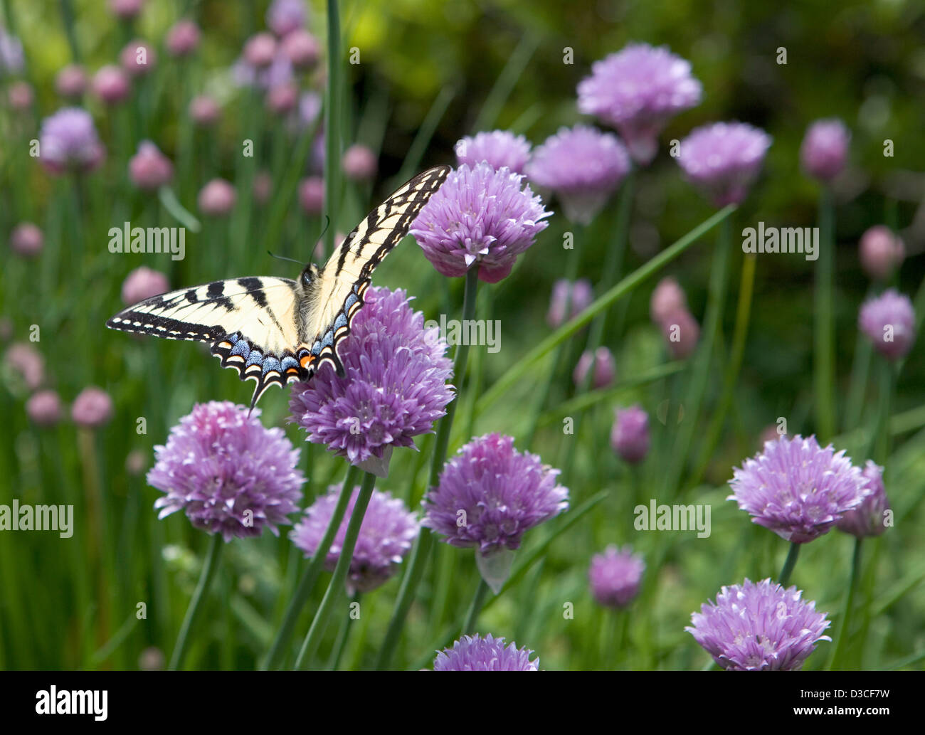Blooming chives with a golden Monarch butterfly - Stock Image