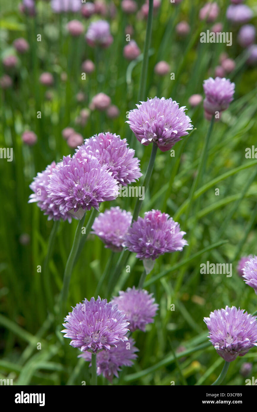 Blossoming chives in a garden - Stock Image
