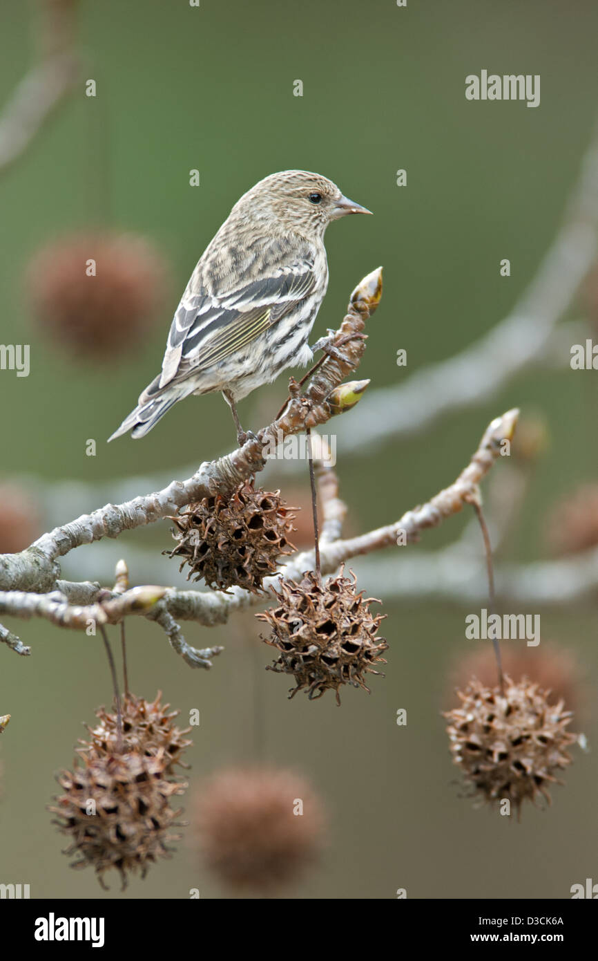 Pine Siskin in Sweetgum Tree - Stock Image