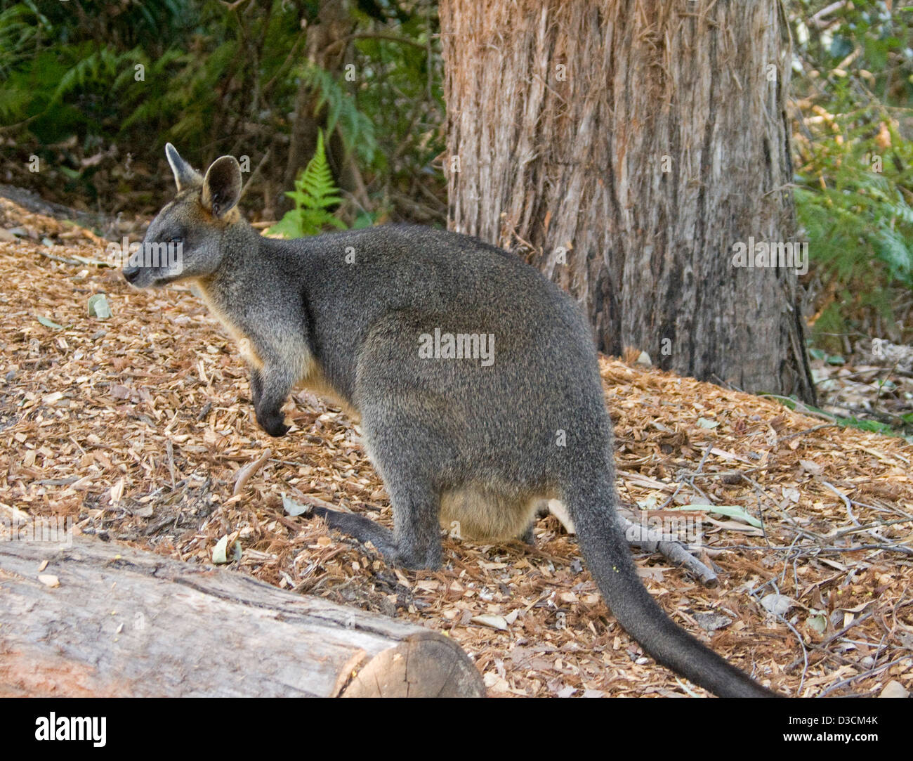 Female swamp wallaby, Wallabia bicolour with joey in pouch in the wild in Booderee National Park, NSW Australia Stock Photo