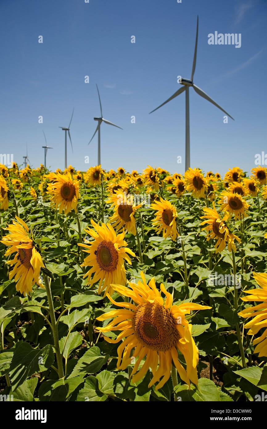 Windmills Wind Energy Field of Sunflowers Tarifa Cadiz Andalusia Spain - Stock Image