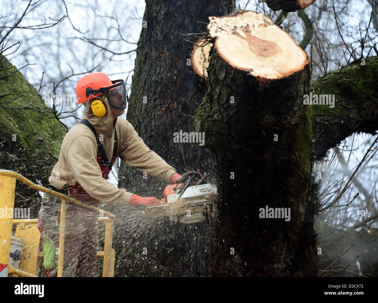 Landscape gardener Johannes Pless cuts down a chestnut in Hamburg, Germany, 16 February 2013. The tree has to be - Stock Image