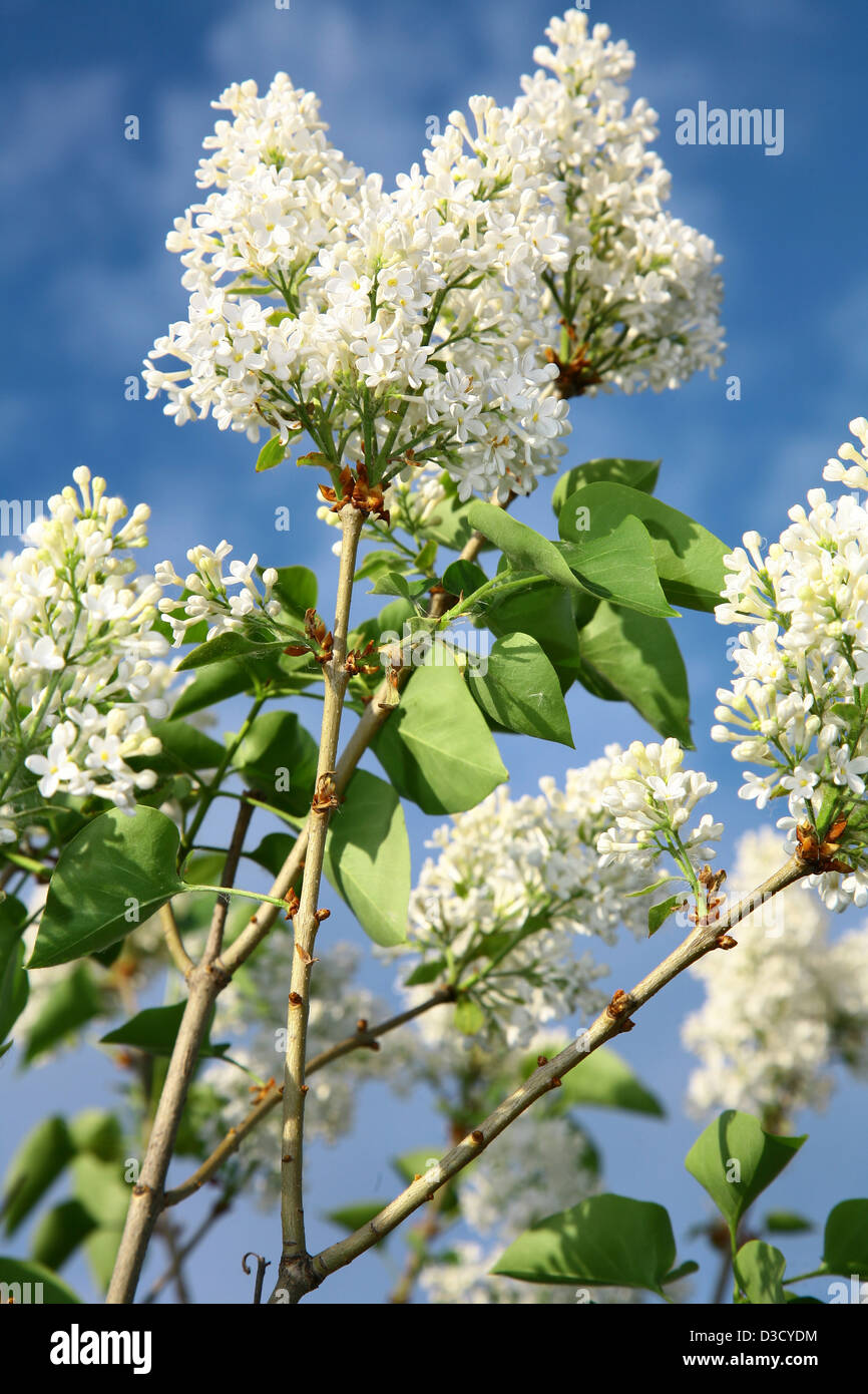 Branch of white lilac on blue sky - Stock Image