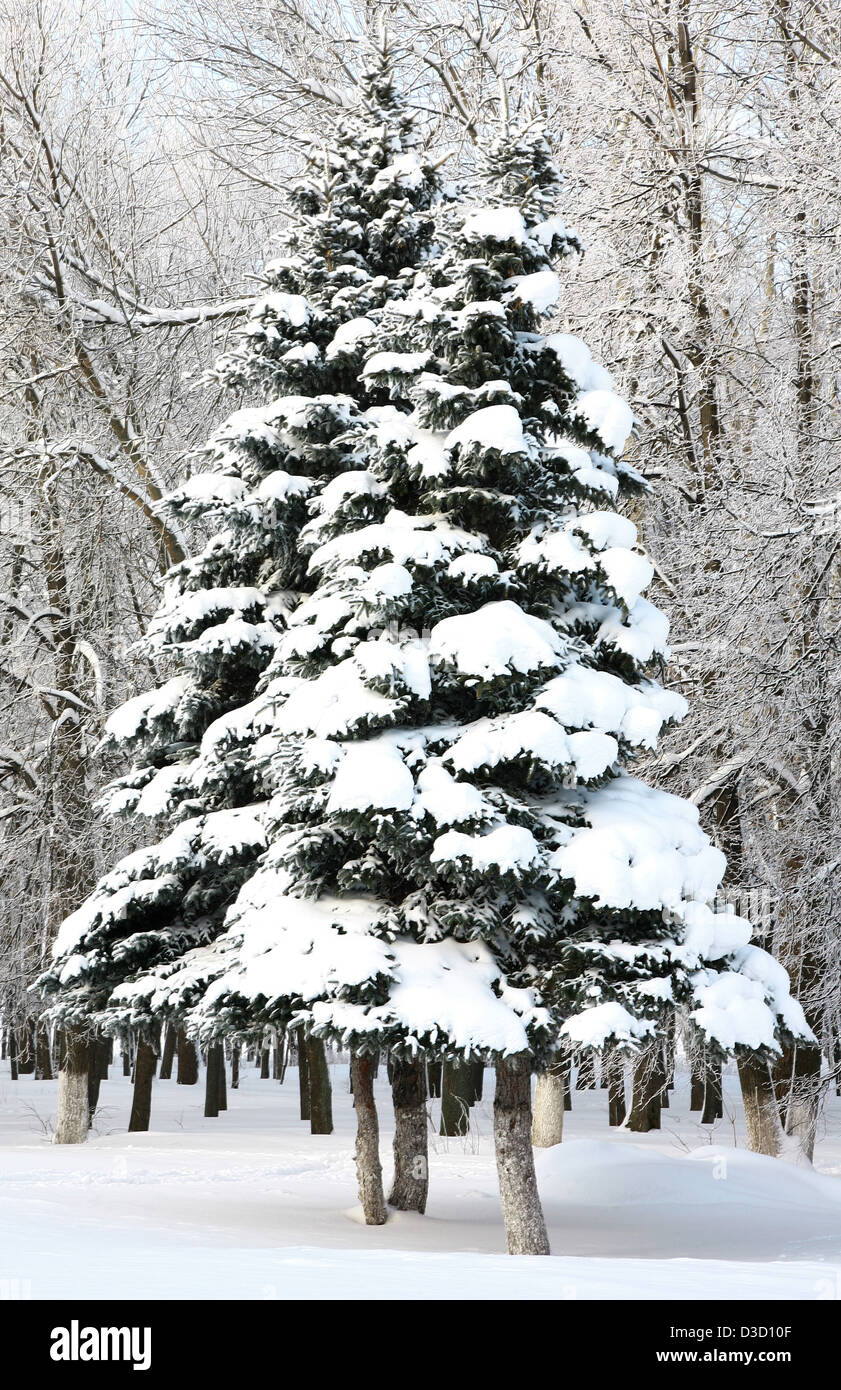 Beautiful fir trees with snowy branches in sunlight - Stock Image