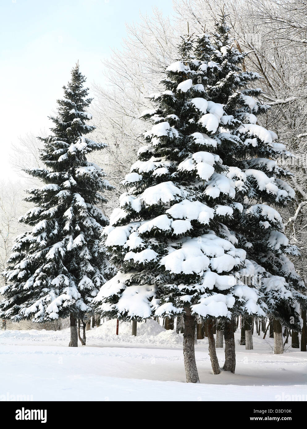 Fir trees with snowy branches in sunlight - Stock Image