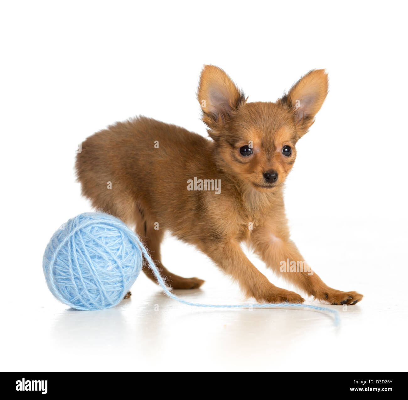 Russian toy terrier puppy playing wool ball - Stock Image