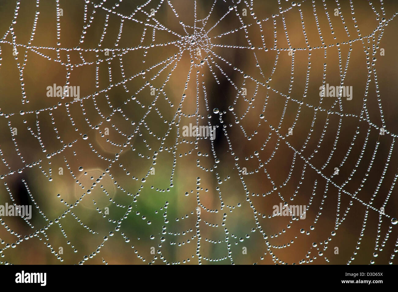 Web in dew - Stock Image