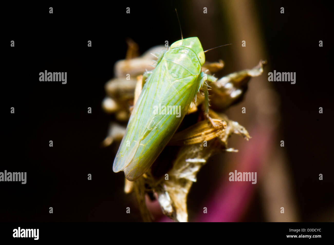 Close up view of a tiny green leafhopper (Zygina nivea). - Stock Image