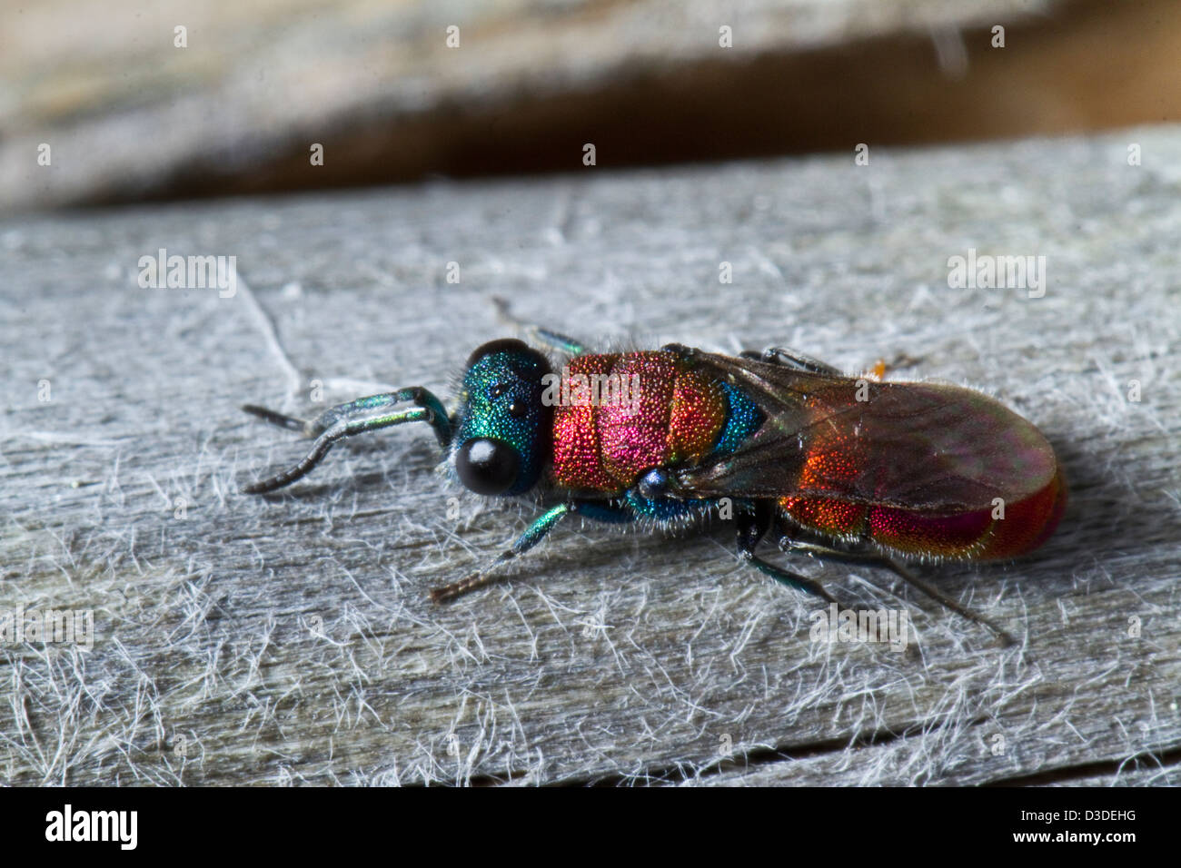 Close view detail of the beautiful Cuckoo Wasp (Chrysis lusitanica). - Stock Image