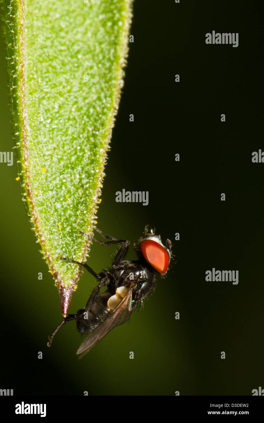 Close up view detail of a fly on the tip of a leaf. - Stock Image