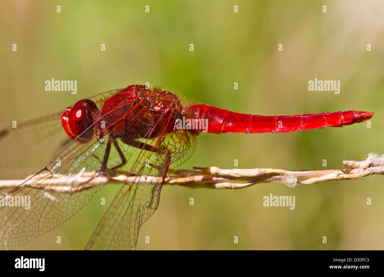 Close up view of a Scarlet Darter (Crocothemis erythraea) dragonfly insect. Stock Photo