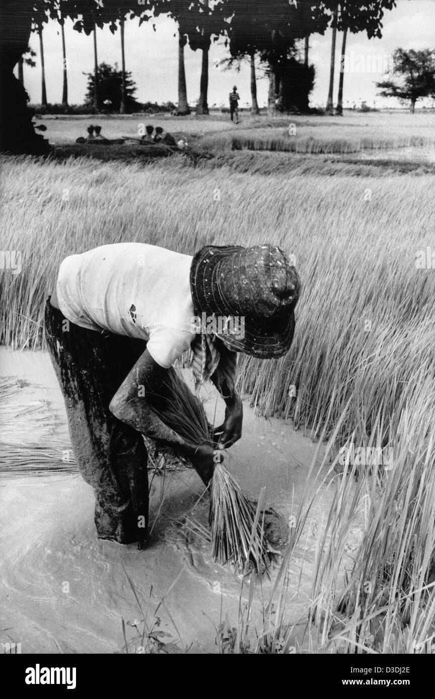 Cambodia: A girl working in the paddy field transplanting rice, Prey Veng province. - Stock Image