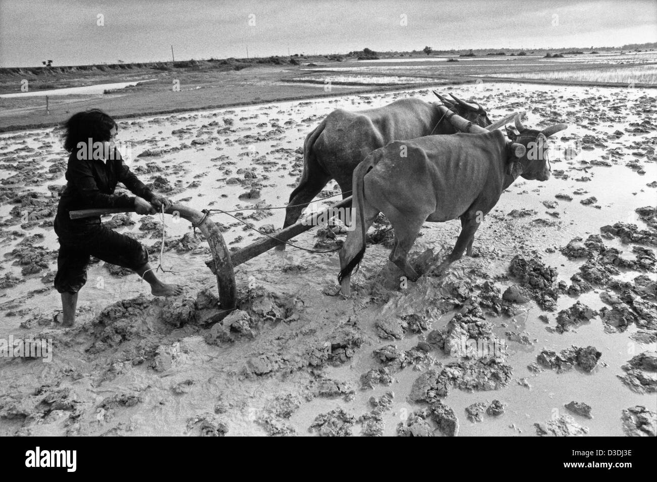 Cambodia: A teenage girl ploughs the family  rice paddy prior to replanting with transplanted rice. - Stock Image