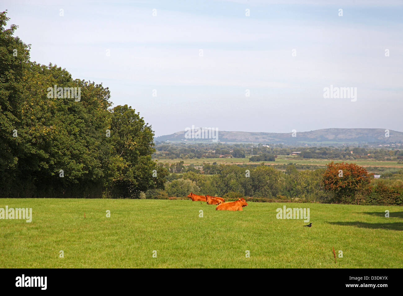 A herd of Devon Red cattle resting in a field on the Polden Hills (with Mendip Hills visible beyond) in Somerset, - Stock Image