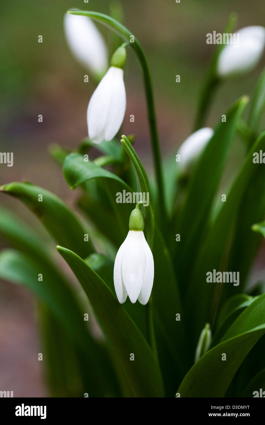 Galanthus Woronowii. Species snowdrop growing on the edge of a woodland garden. - Stock Image