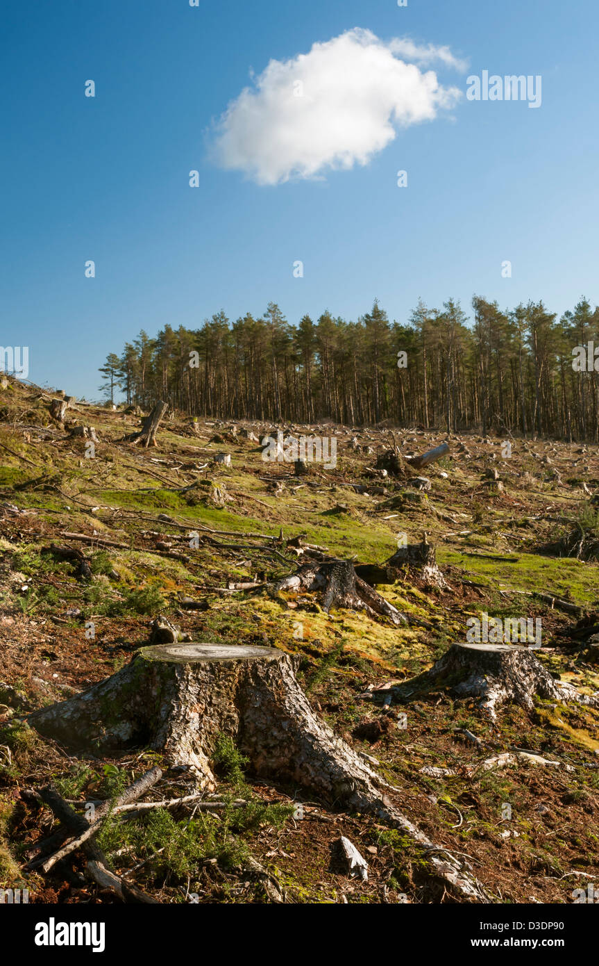 Conifers felled due to Phytophthora ramorum, a fungus like pathogen, which has devastated this Exmoor plantation. - Stock Image