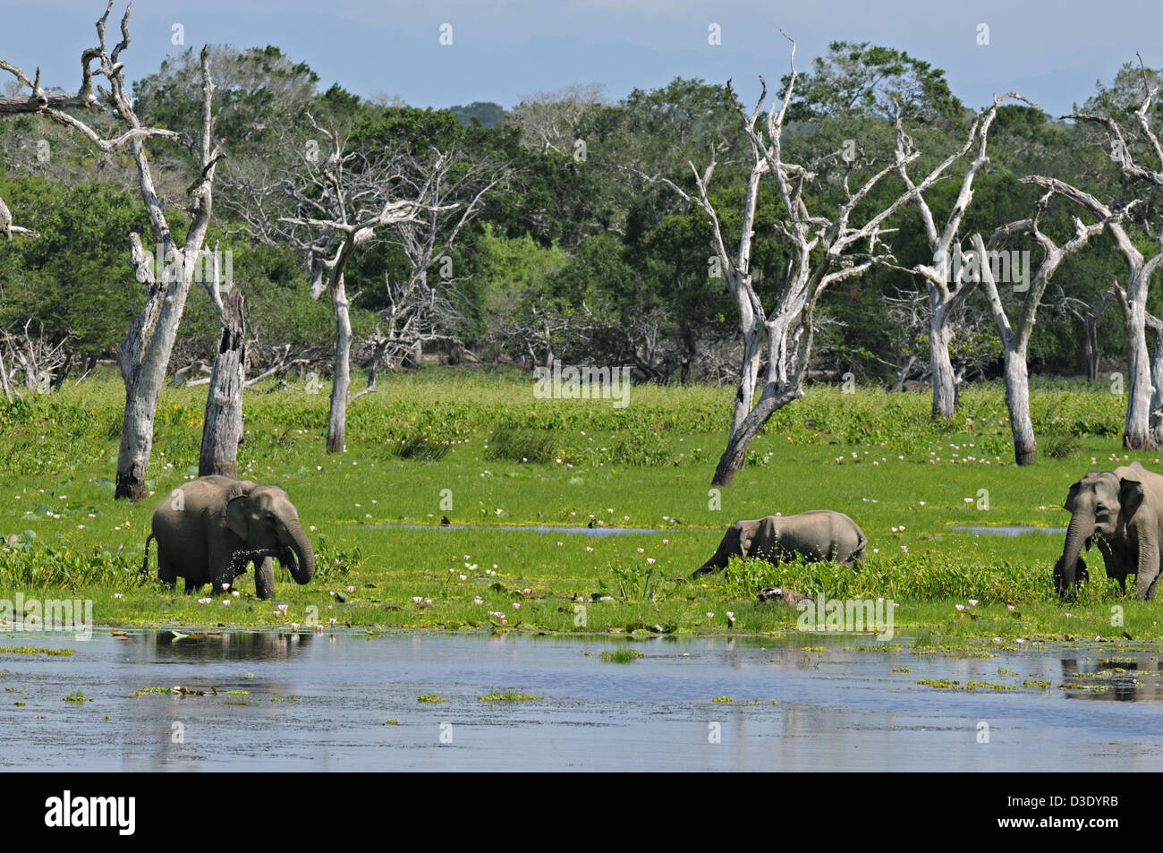 Elephant family with a young baby in a lake in Yala or Ruhuna National Park in Sri Lanka - Stock Image