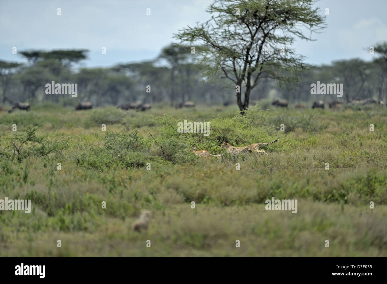 Charging Cheetah in the grasslands of Ndutu in Ngorongoro conservation area in north Tanzania, Africa - Stock Image