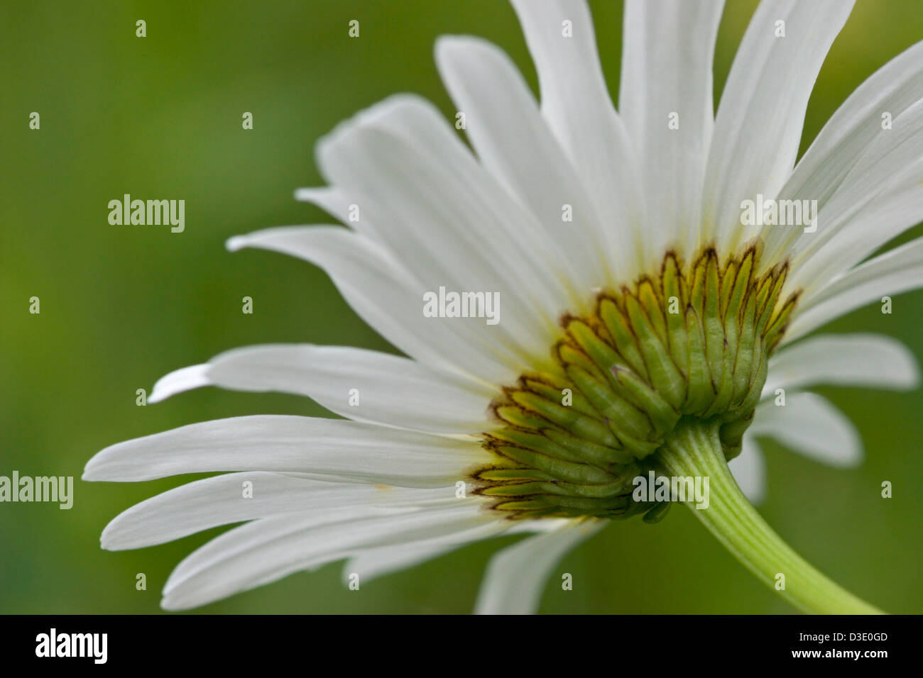 Wild Daisy Flower Petals White Stock Photo 53782861 Alamy