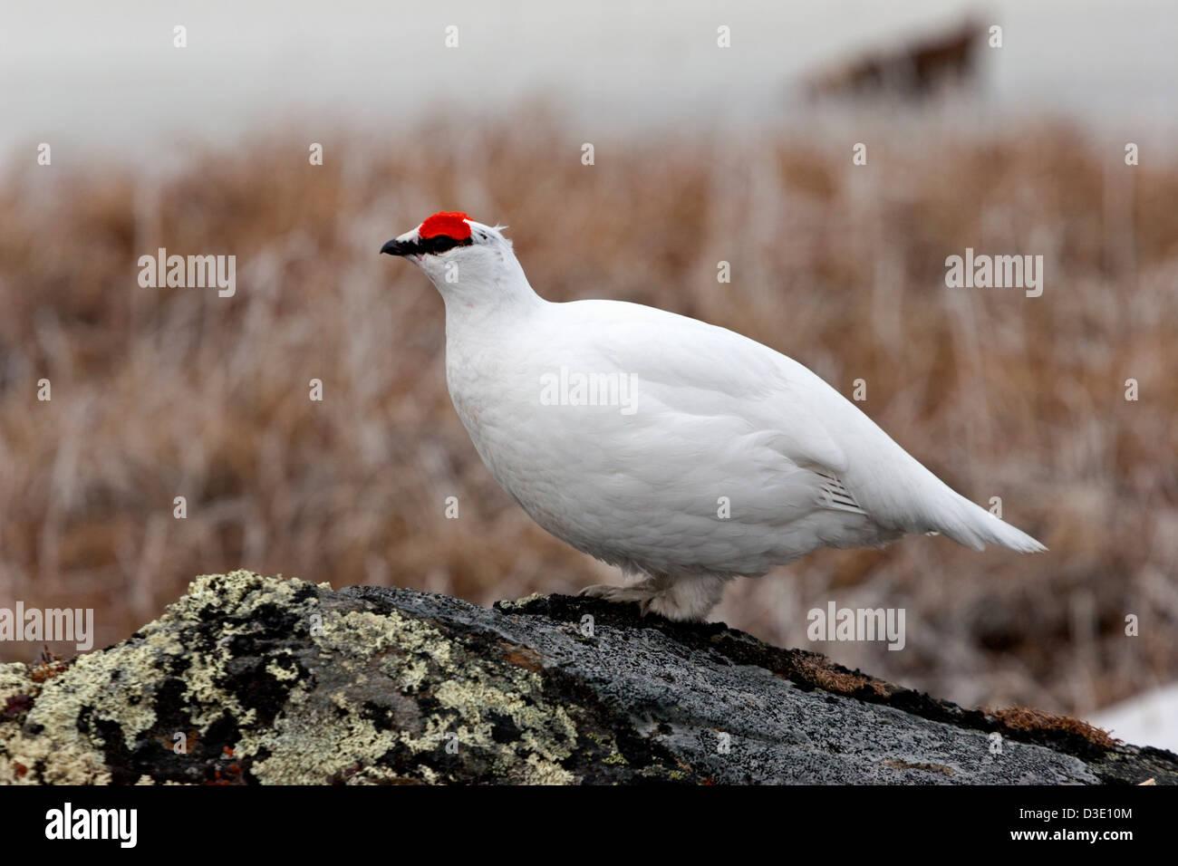 ptarmigan birds arctic snow winter plumage pair male female feather - Stock Image