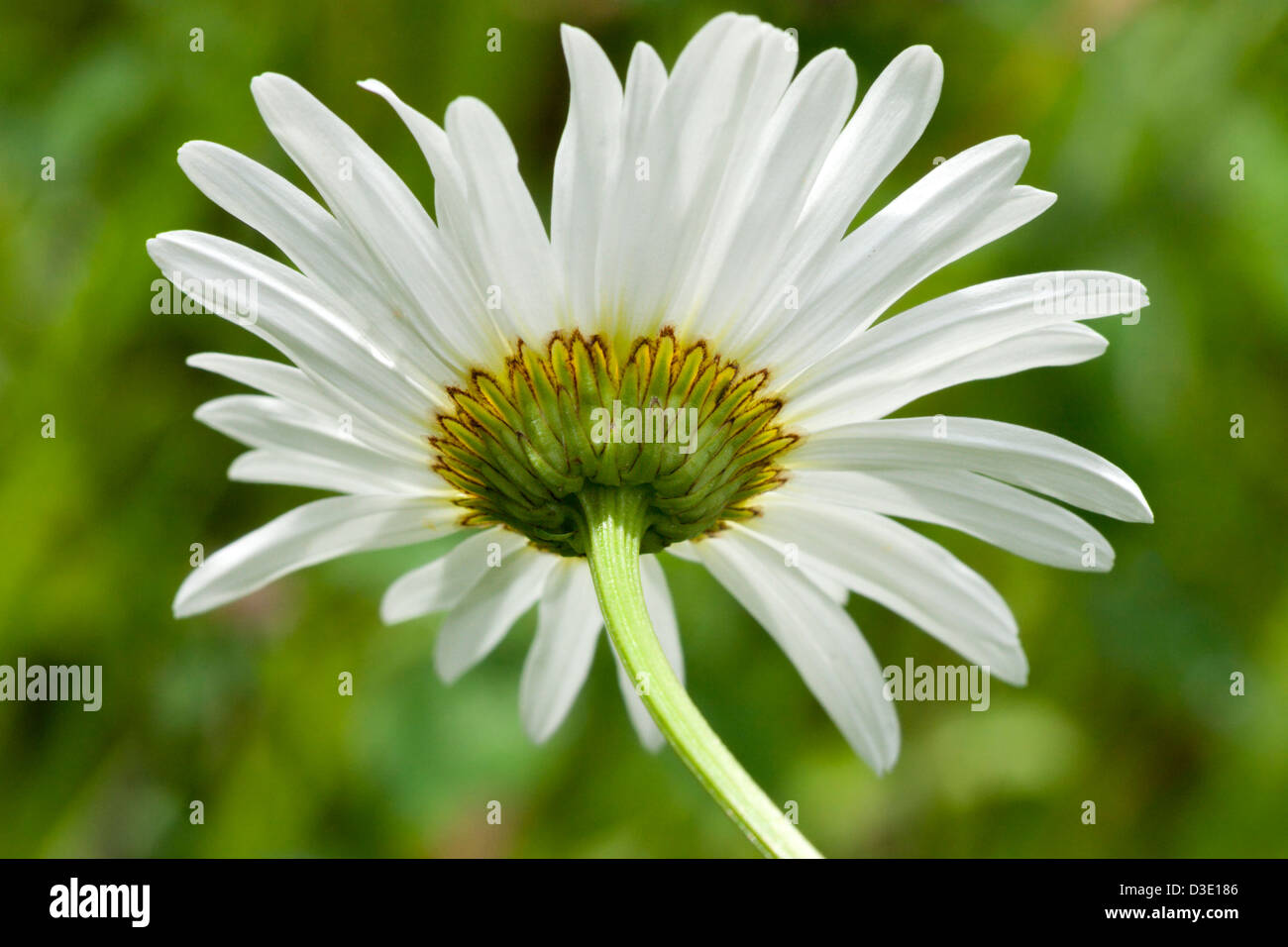 wild daisy flower petals white - Stock Image