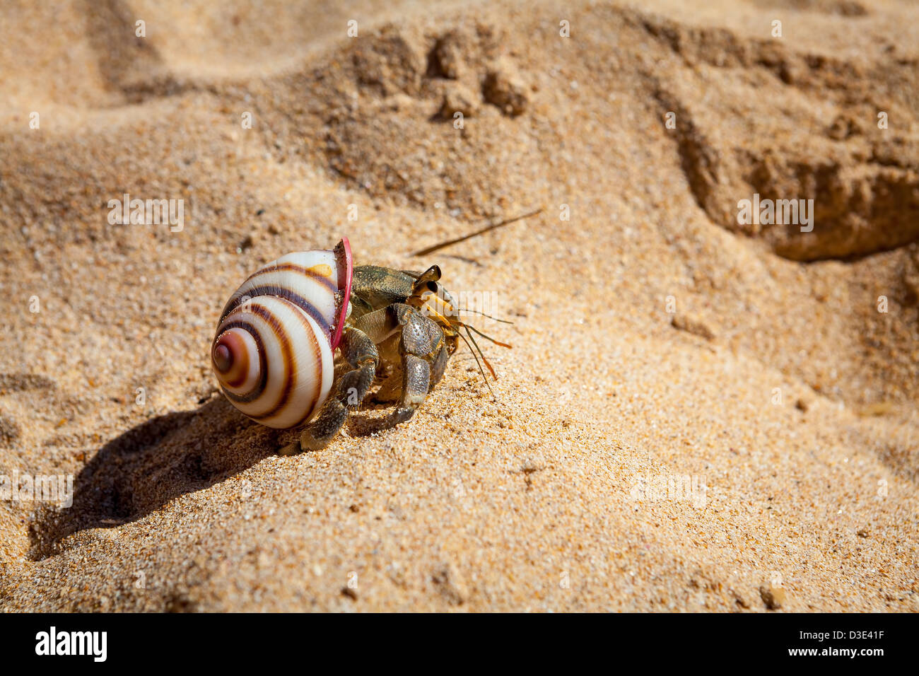 Hermit Crab on Sand in Mirissa, Sri Lanka - Stock Image