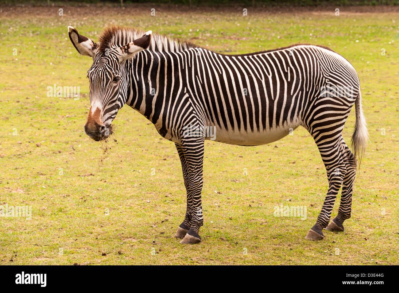 A captive Grevy's Zebra ( Equus grevyi ) Stock Photo