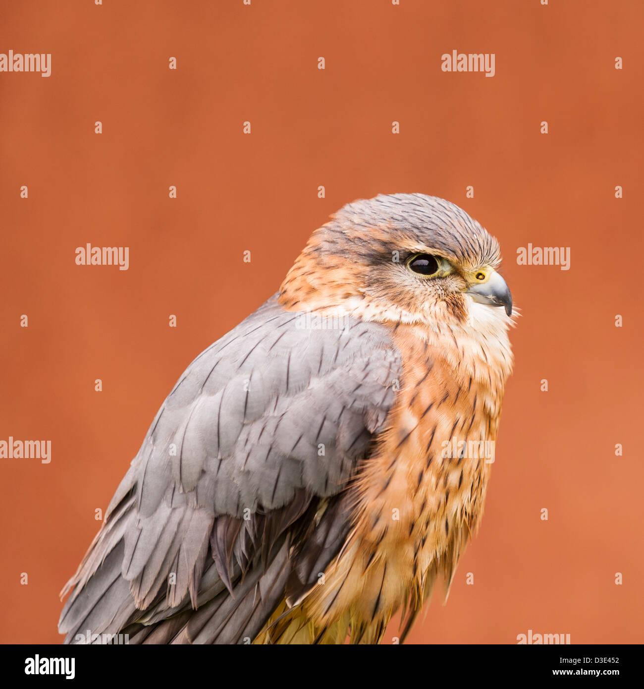 A captive Merlin ( Falco columbarius ) - Stock Image