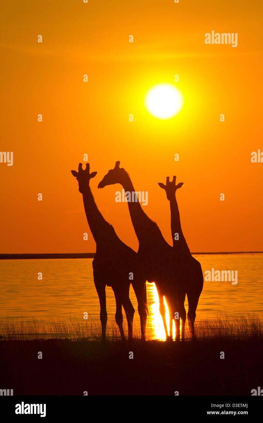 Giraffes silhouetted against the setting sun in Etosha National Park - Stock Image
