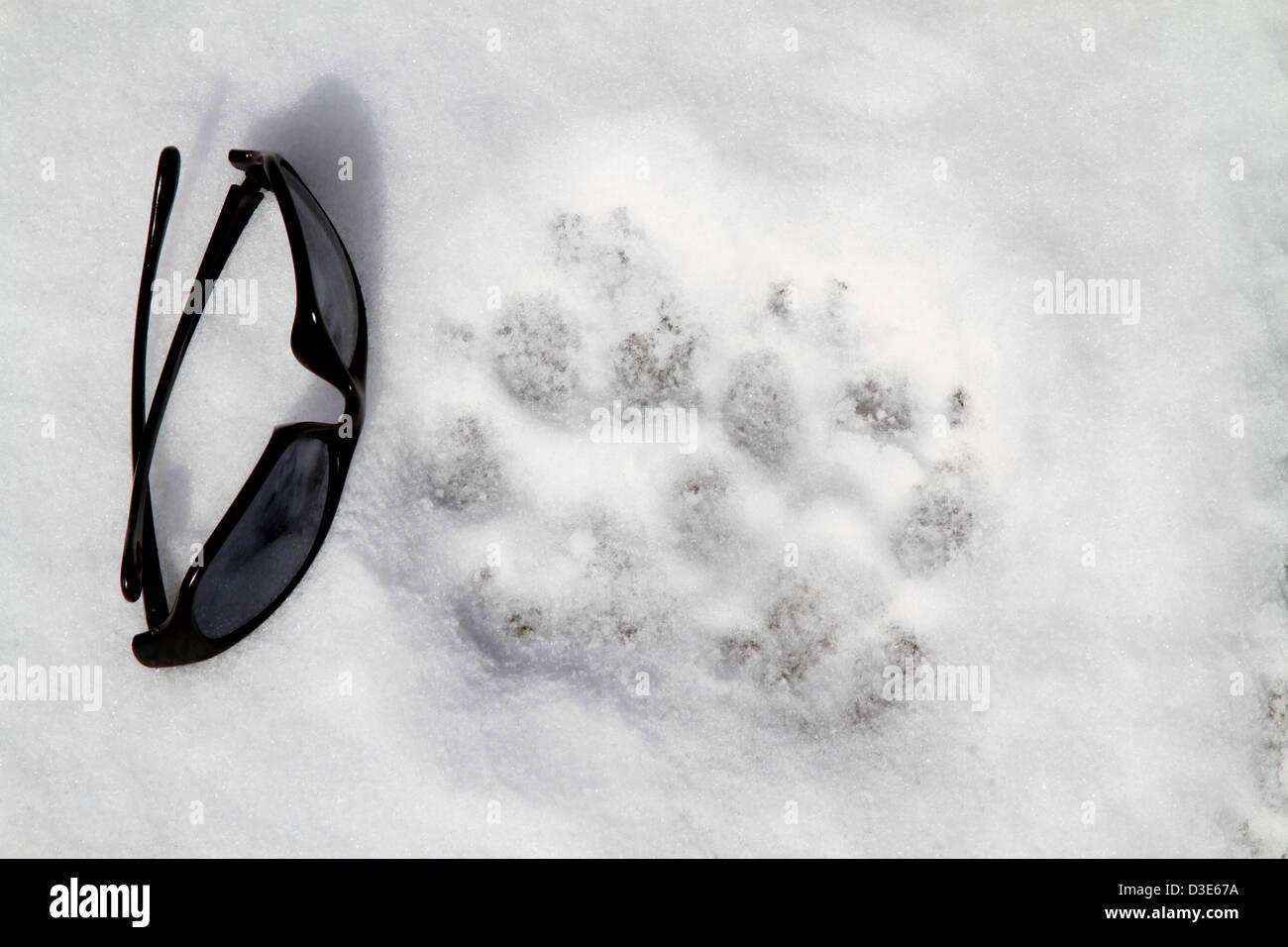 Wolf (Canis lupus) Tracks Stock Photo