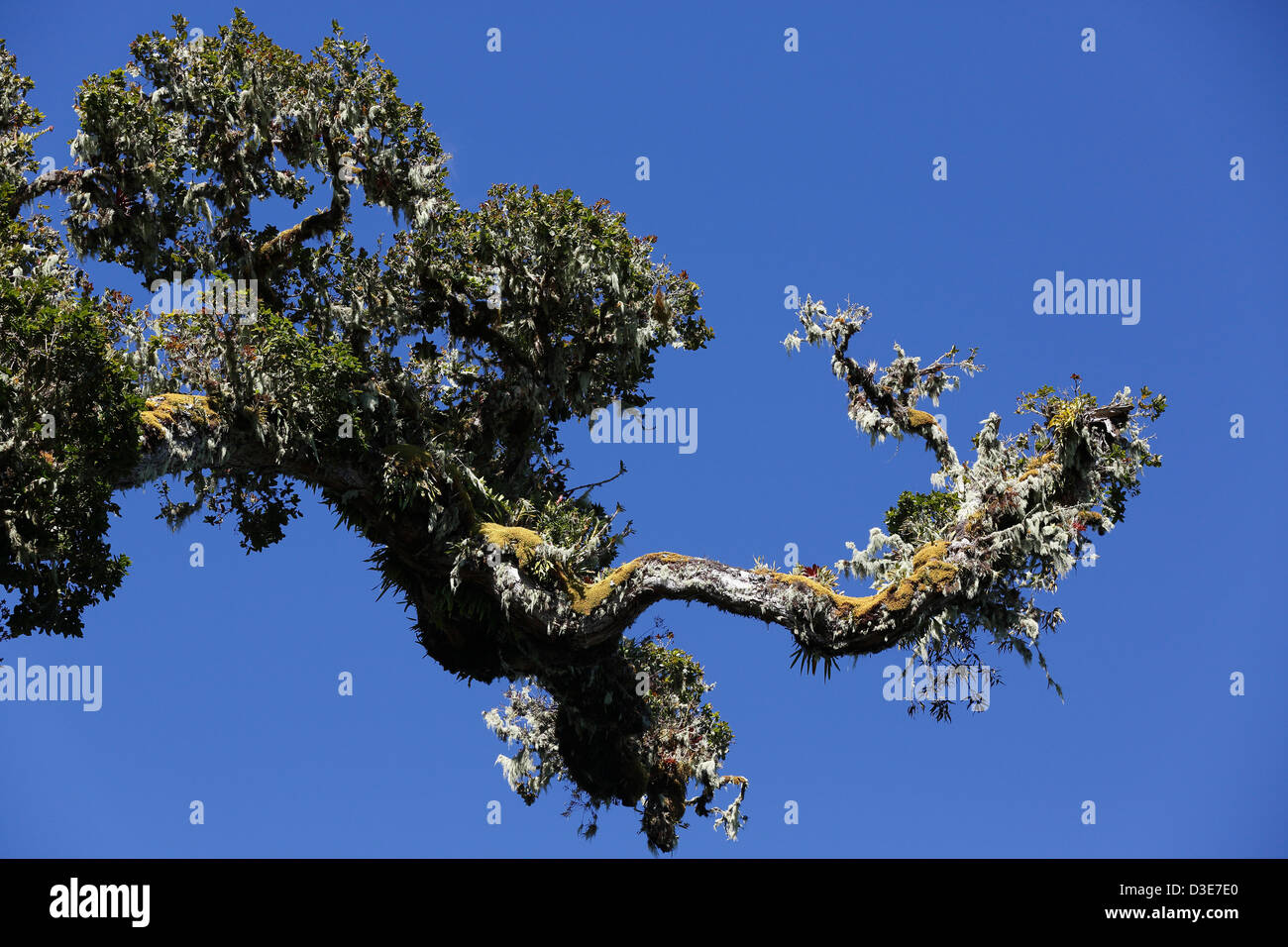 interesting rain forest tree branch, Parque Nacional Volcan Baru, Panama - Stock Image