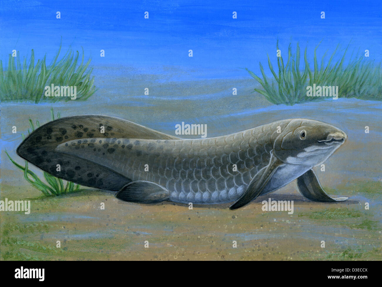 Ceratodus, an ancient lungfish that lived during the Triassic period. - Stock Image