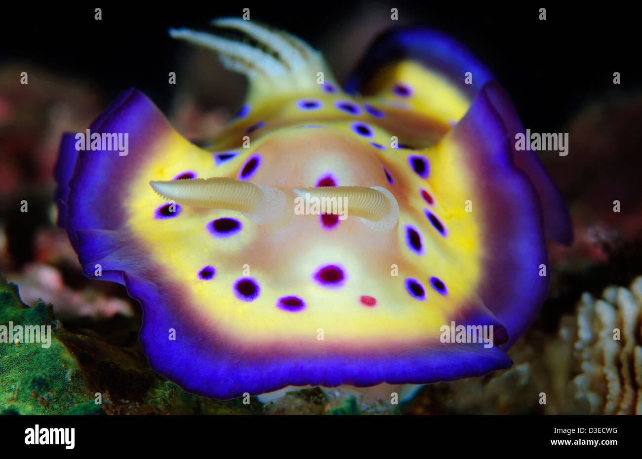 The colorful Chromodoris kuniei on a West Papuan reef. - Stock Image
